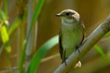 swallows and flycatchers... zwaluwen en vliegenvangers