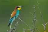 kingfishers, bee-eaters, rollers, hoopoe... ijsvogels, bijeneters, scharrelaars, hop