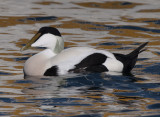 Common Eider ( Ejder )