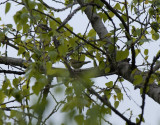 Green Warbler near Tbilisi