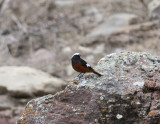 Guldenstädt´s Redstart near Kazbegi