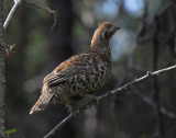 Hazel Grouse ( Järpe )