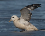 Northern Fulmar (Stormfågel )
