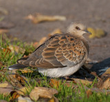 Turtle Dove ( Turturduva )