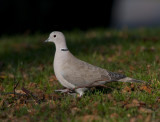 Collared Dove ( Turkduva )