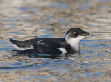 Little Auk ( Alkekung )
