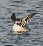 Common Murre ( Sillgrissla )