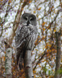 Great Northern Owl ( Lappuggla )