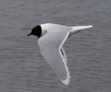 Little Gull ( Dvärgmås )