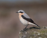 Common Wheatear ( Stenskvätta )
