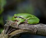Frogs ( Grodor )