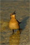 Boat-tailed Grackle...grackling!