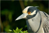 Yellow-crowned Night Heron (Nyctanassa violacea)
