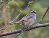Whte-crowned Sparrow