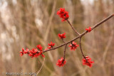 Maple Tree Blossom