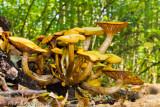 Jack-O-Lantern Mushroom