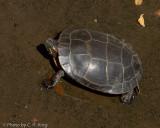 Eastern Red-bellied Turtle
