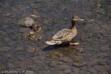 Female Mallard and Ducklings