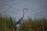 Great Blue Heron - Fulton Tx