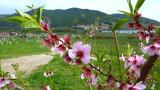 Apricot blossom time in the Wachau