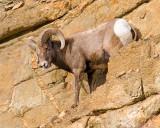 zP1030427 Bighorn Sheep above Fall River near RMNP.jpg