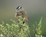 1670l_white_crowned_sparrow
