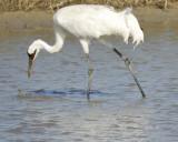 whooping crane BRD8307.jpg
