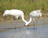 whooping crane BRD8326.jpg