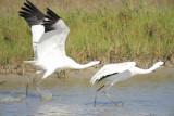 whooping crane BRD8342.jpg
