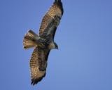 red-tailed hawk BRD3923.jpg