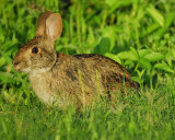 cottontail rabbit BRD3001.jpg