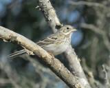 1670d_vesper_sparrow
