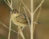 1670r_grasshopper_sparrow