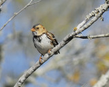 harris's sparrow BRD7666.jpg