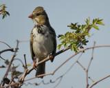 harris's sparrow BRD7700.jpg