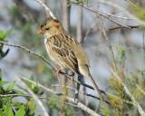harris's sparrow BRD8076.jpg