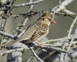 harris's sparrow BRD9030.jpg