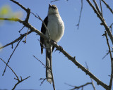 tropical_mockingbird_BRD0678.jpg