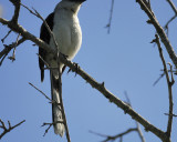 tropical_mockingbird_BRD0685.jpg