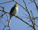tropical_mockingbird_BRD0689.jpg