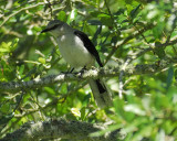 tropical_mockingbird_BRD0722.jpg