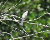 tropical_mockingbird_BRD0774.jpg