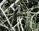 tropical_mockingbird_BRD0781.jpg
