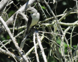 tropical_mockingbird_BRD0783.jpg
