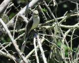 tropical_mockingbird_BRD0784.jpg