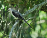 tropical_mockingbird_BRD0789.jpg