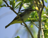 1590f_black_whiskered_vireo