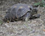 texas tortoise BRD1613.jpg