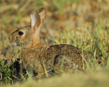 cottontail rabbit BRD0947.jpg