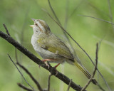 1670w_olive_sparrow
